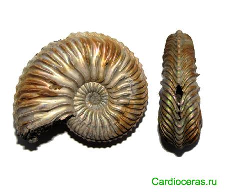 Cardioceras ammonite shell