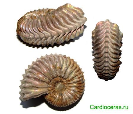 Ammonite Cardioceras
