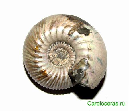 Аммонит Cadoceras elatmae. Макроконх, подсемейство Cadoceratinae