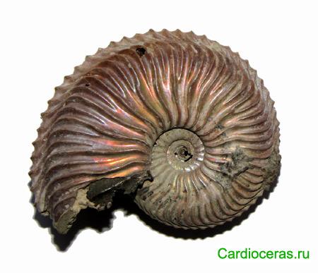 Cardioceras sp. Микроконх, подсемейство Cardioceratinae