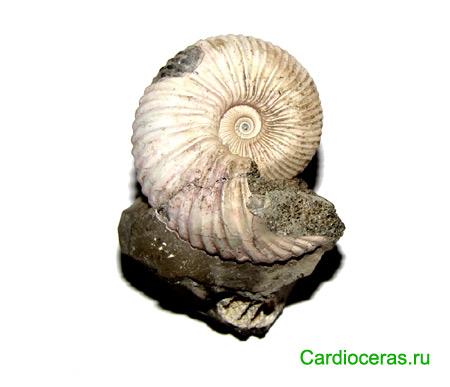 Ammonite Novocadoceras sp