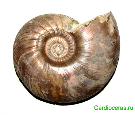 Pyrite macroconch Quenstedtoceras lamberti